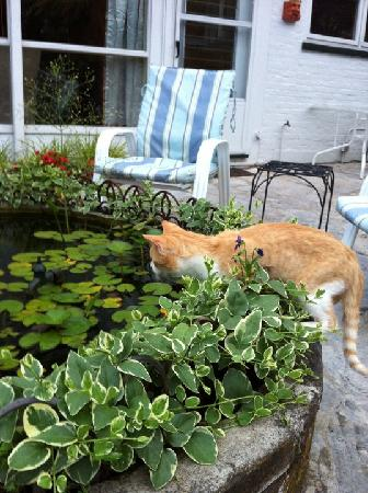 1823 Historic Rose Hill Inn: local cat watching the fish in the back yard!