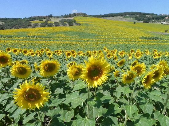 Masseria Grande: i girasoli