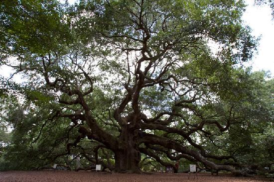 Johns Island, SC: Angel Oak