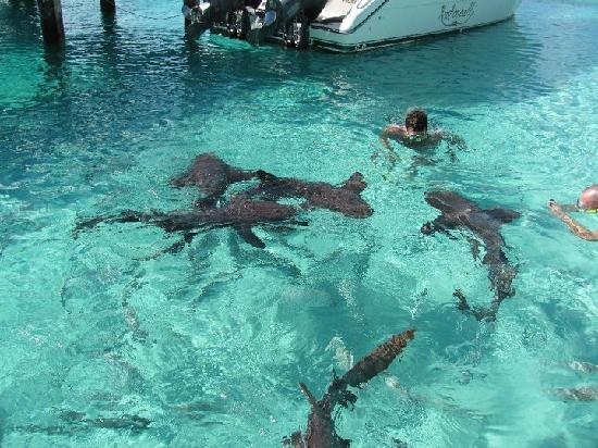 """George Town, Great Exuma: The """"swimming pigs"""" of the Exuma Islands."""