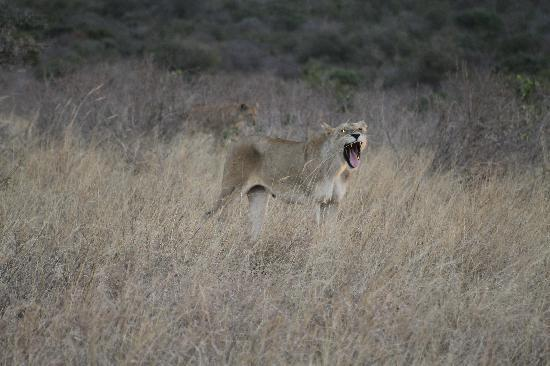 Ukunda, Kenya: Lioness roaring at dusk