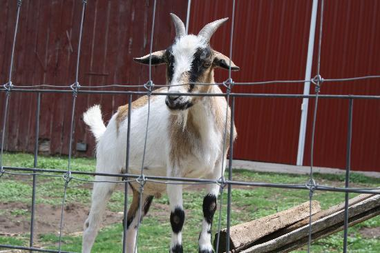 Cleveland, วิสคอนซิน: A goat @ Whispering Orchards