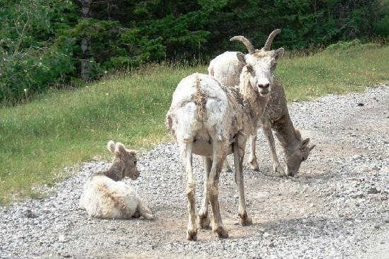 Banff Inn: Three mountain goats