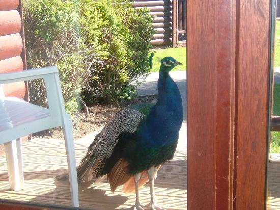 Graig Park Hotel And Country Club: our friendly peacock.!!!