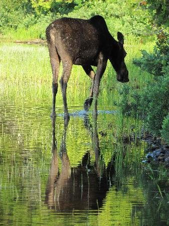 Lodge at Moosehead Lake: Moose