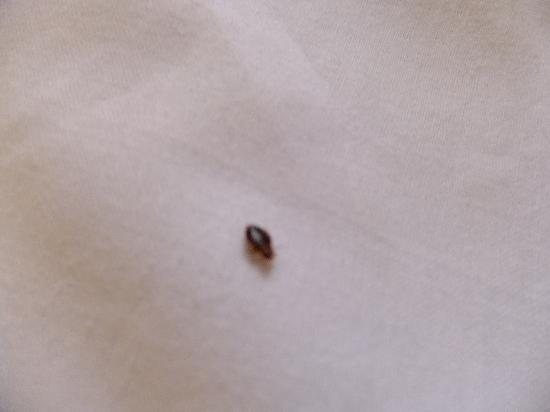 Beware what is crawling in your bed sands beach resort for Bed bugs on sheets