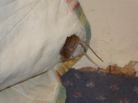 Ashley Hotel: mouse in room