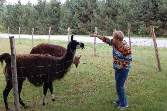 Maple Hill Farm Inn: The llamas were so much fun to watch.