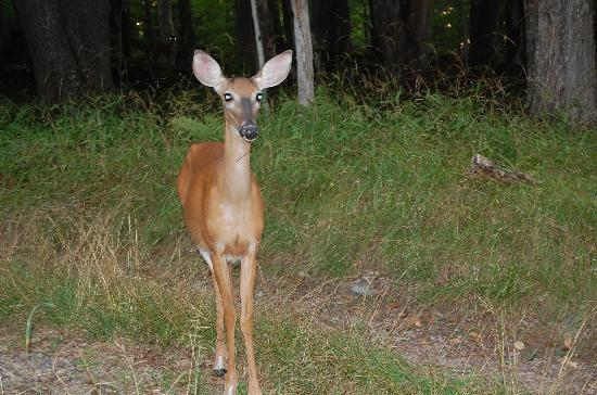 Nick's Lake Campground: Deer just wondering around