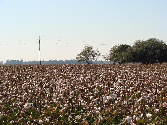 Working cotton fields - Picture of Frogmore Plantation ...