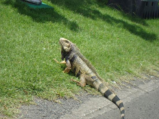 Dorado, Puerto Rico: iguana on golf course