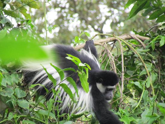 Hatari Lodge: colobus monkey