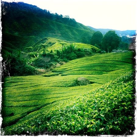 Tanah Rata, Malaysia: tea plantation