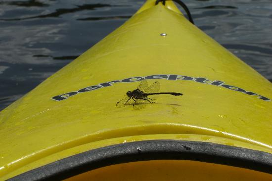 Huntingdon, Canada: Dragonfly on my kayak