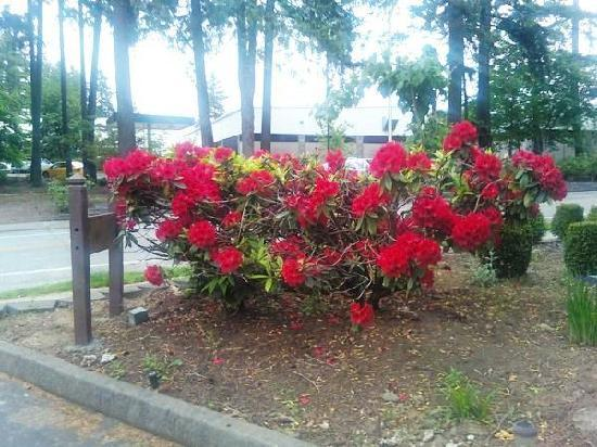 Quality Inn Wilsonville: Red Rhododrendrons in Bloom