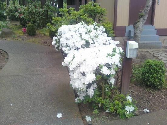Quality Inn Wilsonville: White Rhododendrons in Bloom