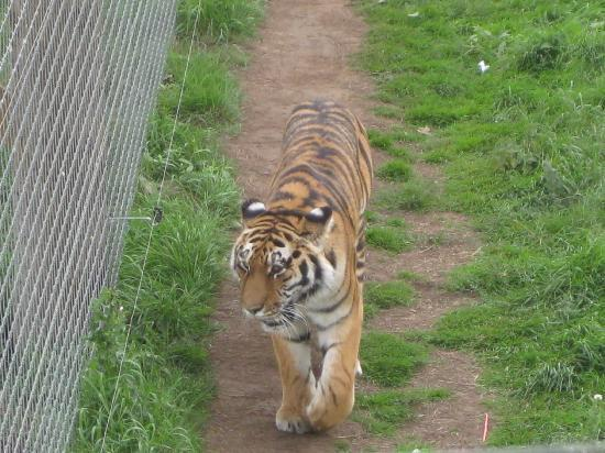 Doncaster, UK: tigers