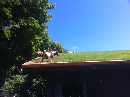 Shipwrecked Restaurant, Brewery & Inn: grazing goats on the roof