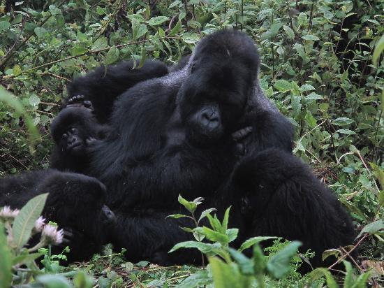 : Gorillas in bwindi national park