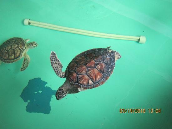 Suntide III Condominiums: Sea turtle rescue