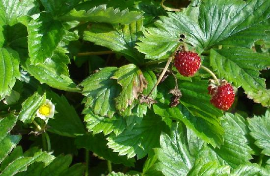 Snelston, UK: Strawberries