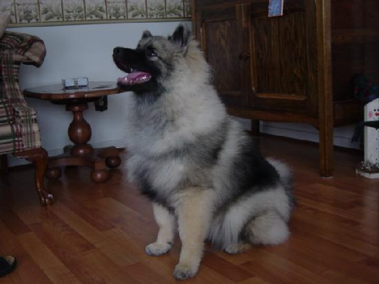 Suncatcher Bed & Breakfast: Keltie our Keeshond