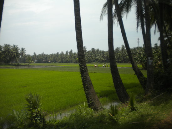 Secunderabad, Inde : Coconut groves and paddy fields