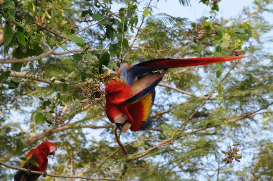 Playa Tambor, Costa Rica: Parrots in the backyard.