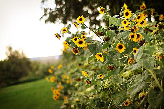 Marcotte's Family Motel: sunflowers at dusk.
