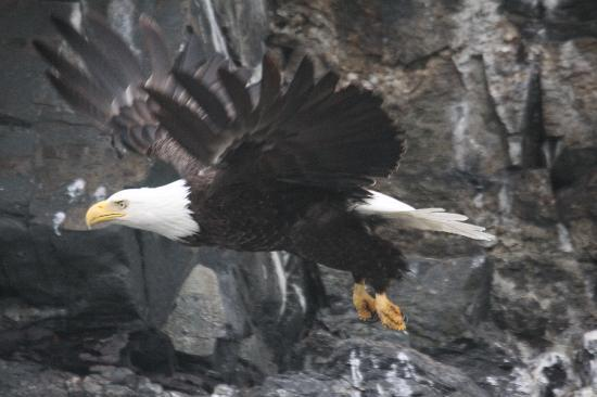 Kodiak National Wildlife Refuge, AK: and everyone's favorite flying predator!