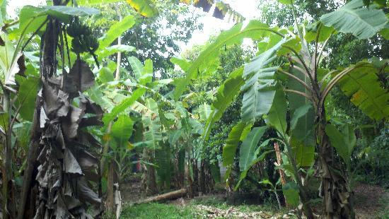 Mount Victory Camp: giant 20-30 ft. banana trees