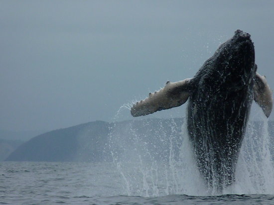Puerto Lopez, Ισημερινός: whale jumping next to the boat !!