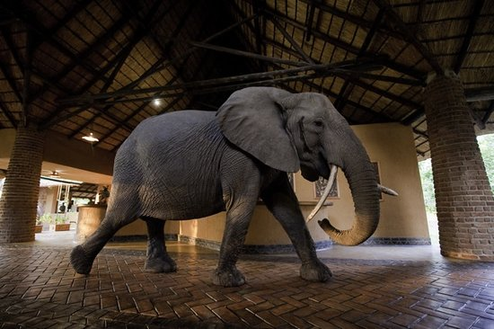 South Luangwa National Park, Zambia: Wonky Tusk the Elephant in the Mfuwe Lodge reception