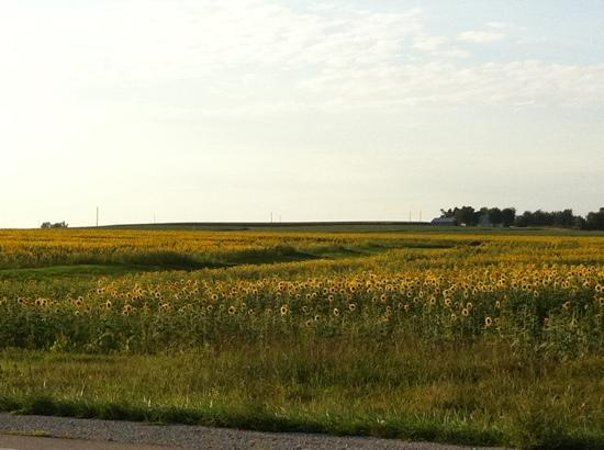 Hiawatha, KS: sunflowers crops.
