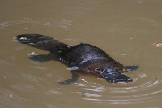 Bushland Cottages & Lodge: The platypus in the creek