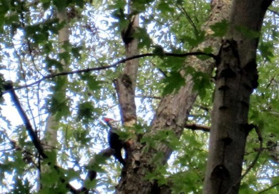 Heart of the Village Inn: Pileated Woodpecker on river