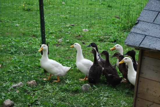 Ducks at the Inn On The Horse Farm