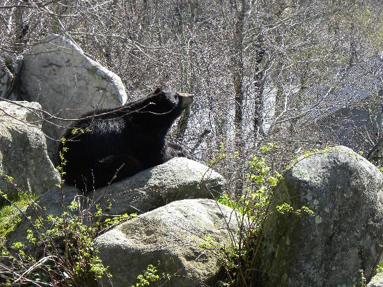 Linville, NC: bear sunning himself at the refuge part way up