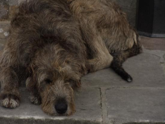 Kingscourt, Ireland: Oscar, a friendly and gentle Irish wolfhound, greets Cabra Castle guests