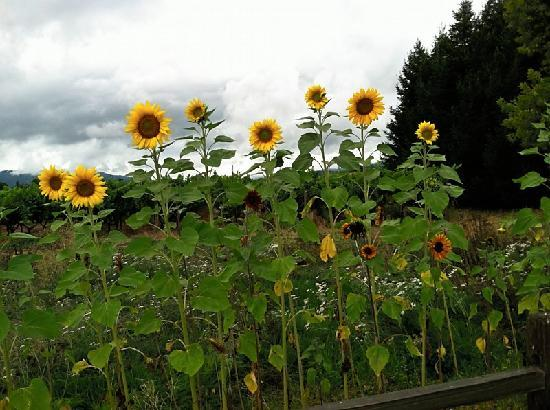 Sunflowers At Hoenig  Picture Of Intimate Wine Private Tours Napa  TripAdv