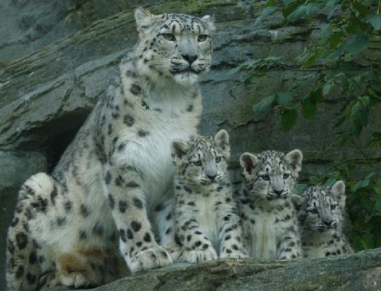 Zoo three snow leopard cubs came out of their den in august 2011