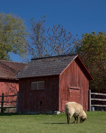 Hill Farm Inn: Sheep grazing near the barn