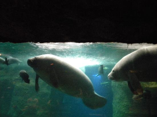 Manatees Picture Of Dallas World Aquarium Dallas