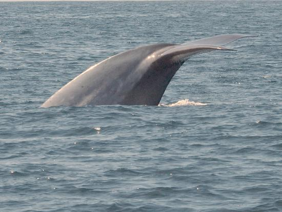 Dana Point, Californië: Blue Whale Fluking