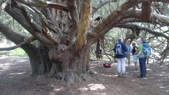 Chichester, UK: Majestic Yew