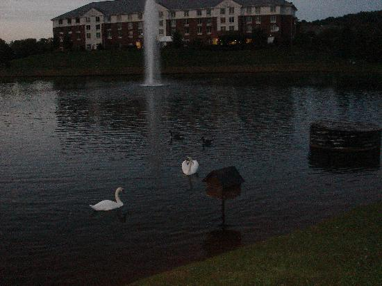 Hilton Garden Inn Charlottesville: Swans like this place too