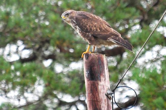 Isle of Mull Hotel & Spa: Buzzard