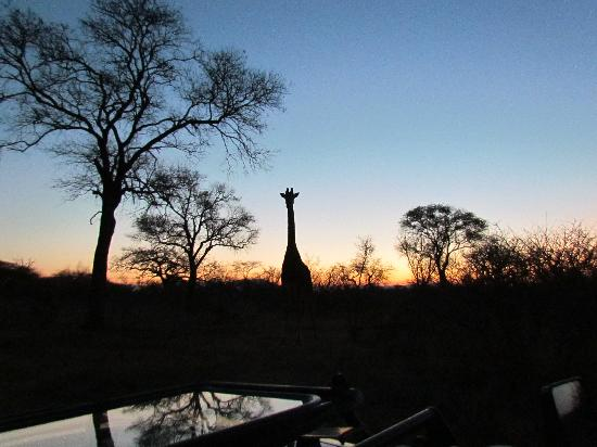 Kapama River Lodge: giraffe at sunset