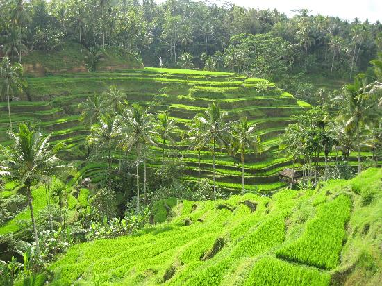 Tegalalang rice terraces picture of ubud bali tripadvisor for Tegalalang rice terrace ubud