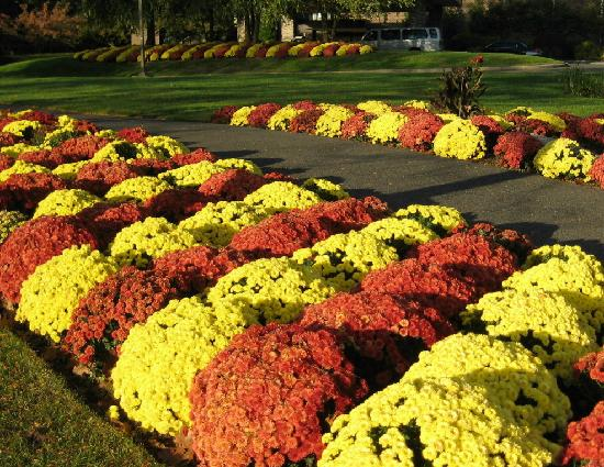 Renaissance Westchester Hotel: Colorful mums on the grounds